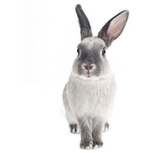Naklejka ścienna Dekornik Rabbit Harry, 53x115 cm obraz